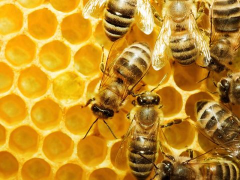 Bees Living in Your Home